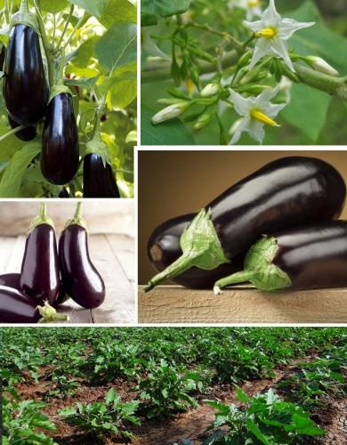 Eggplant website
